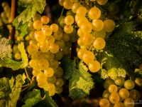 23092013_lavaux_vignes_vincentbailly-1