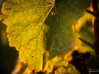 23092013_lavaux_vignes_vincentbailly-11