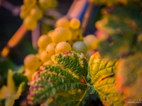 23092013_lavaux_vignes_vincentbailly-13