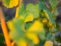 23092013_lavaux_vignes_vincentbailly-14