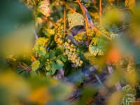 23092013_lavaux_vignes_vincentbailly-15