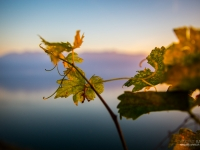 23092013_lavaux_vignes_vincentbailly-17