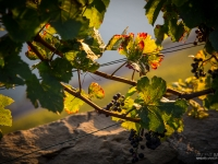 23092013_lavaux_vignes_vincentbailly-5