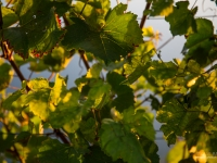23092013_lavaux_vignes_vincentbailly-6