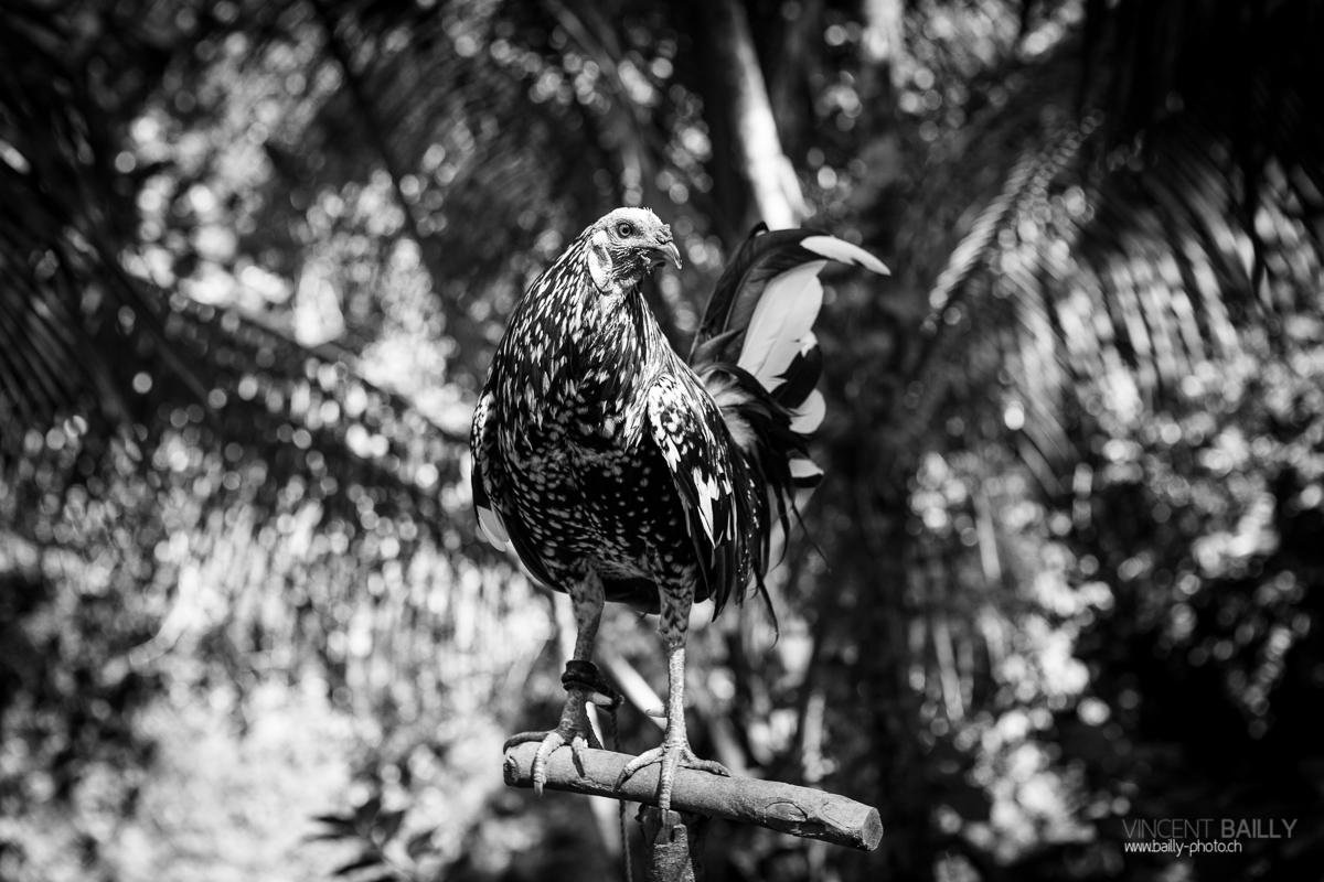 Combat de coqs aux Philippines: Plus qu'un simple