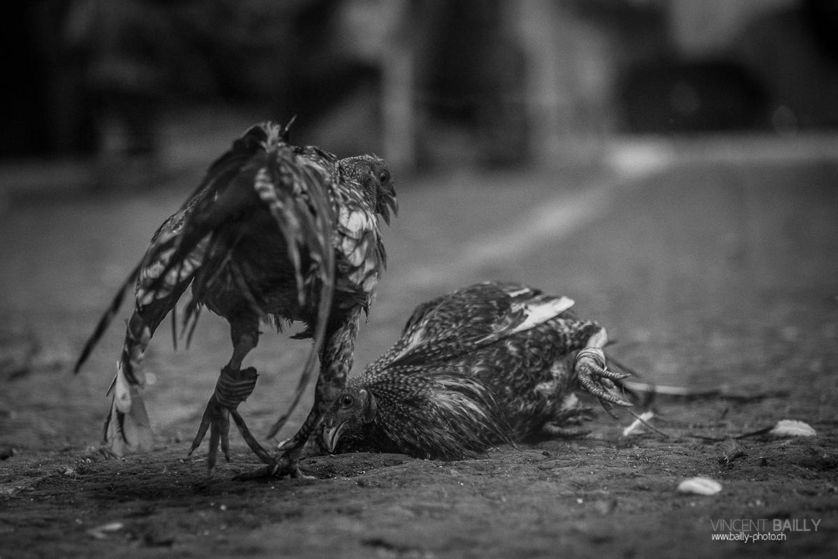 Le combat de coqs aux Philippines - Vague Vagabonde