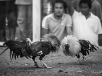 philippines2013_combats_de_coq-34