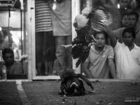 philippines2013_combats_de_coq-41