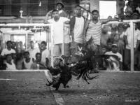 philippines2013_combats_de_coq-42