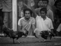 philippines2013_combats_de_coq-45