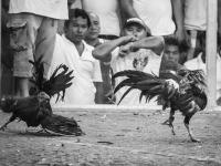 philippines2013_combats_de_coq-47